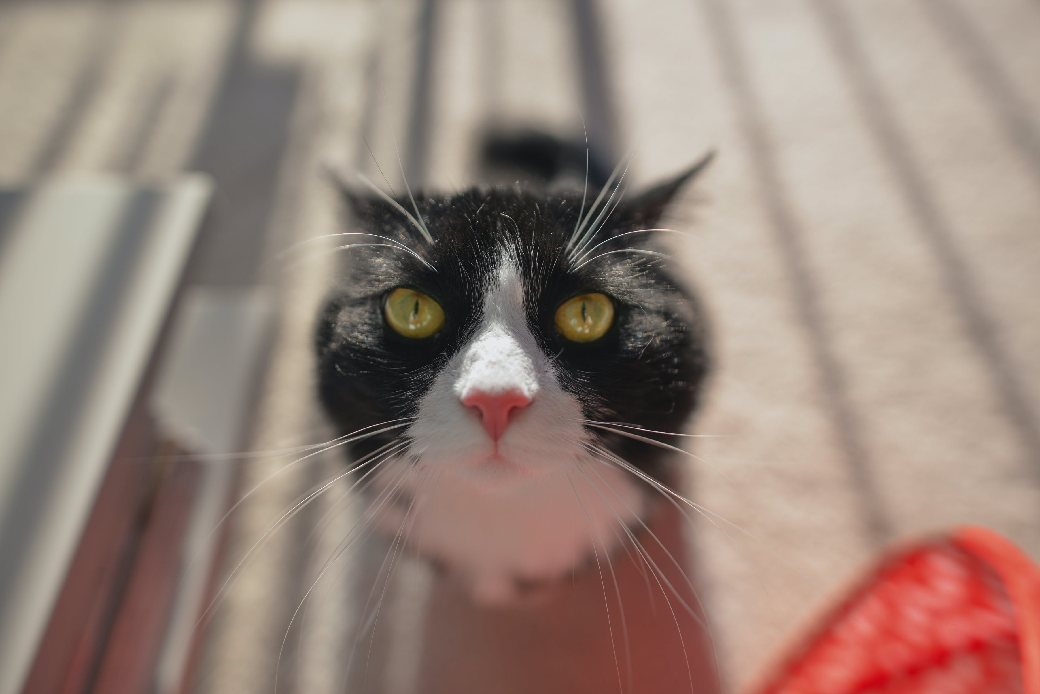 Selective Focus Photo of Tuxedo Cat during Daytime