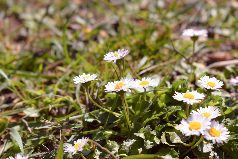 Gratis lagerfoto af bellis, blomster, flora, kraftværker