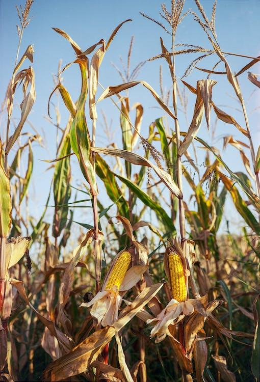выращивать, за городом, зерновые