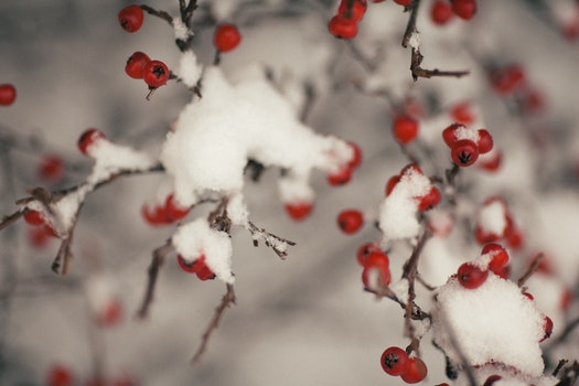 Tree With Fruit Covered With Snow