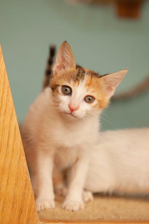 White and Brow Kitten