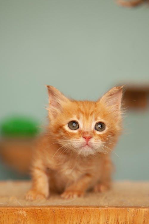 Ginger Kitten Looking Up