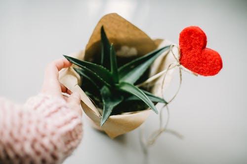 多肉植物, 廠, 心, 情人節 的 免費圖庫相片