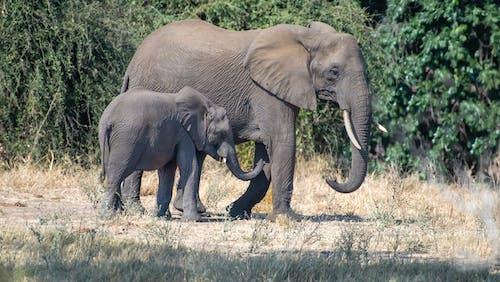 Kostenloses Stock Foto zu afrikanischer elefant, barbarisch, baumstamm