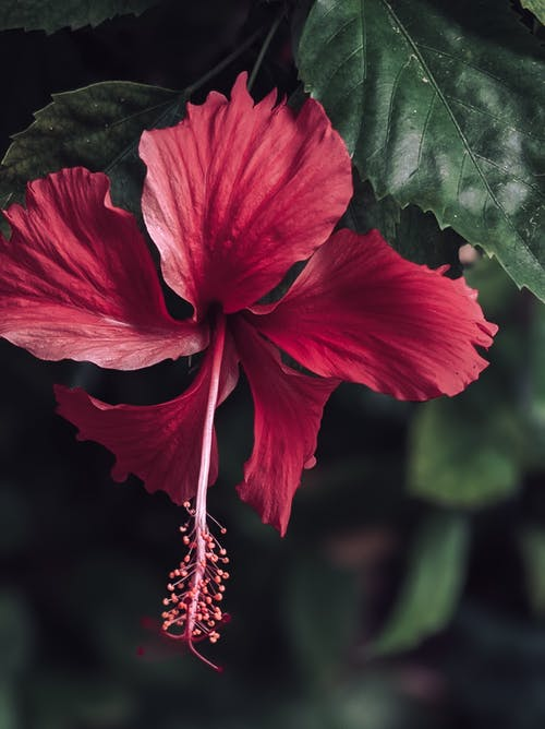 Close-Up Photo of a Red Hibiscus Flower in Bloom