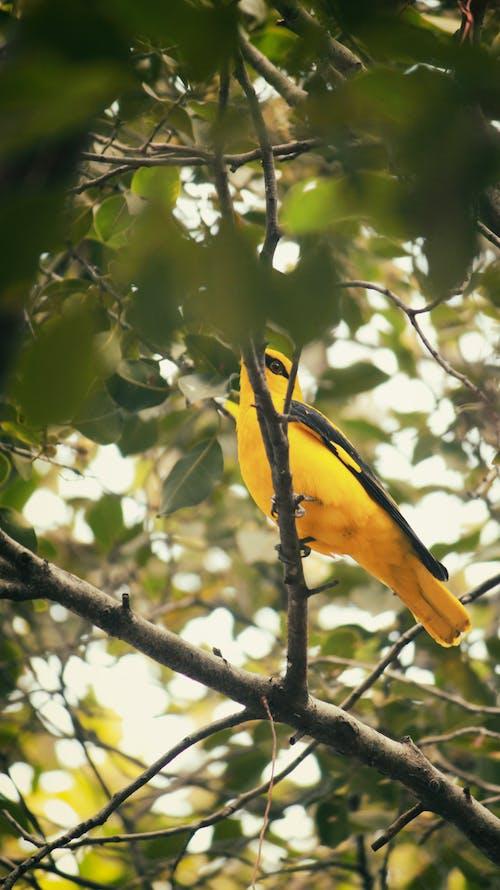 Free stock photo of bird, yellow