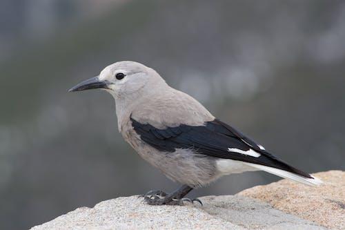 Selective Focus Photo of a Nutcracker Bird on a Rock