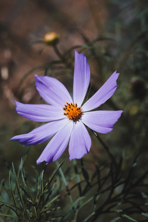 A Beautiful Purple Cosmos Flower in Bloom