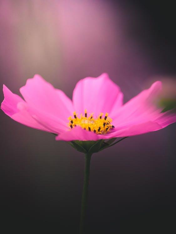 A Beautiful Garden Cosmos in Bloom
