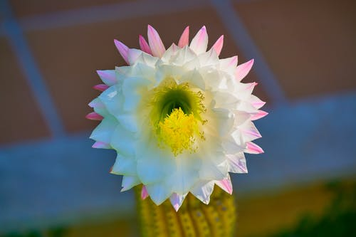 Free stock photo of cactus flower, outdoorchallenge