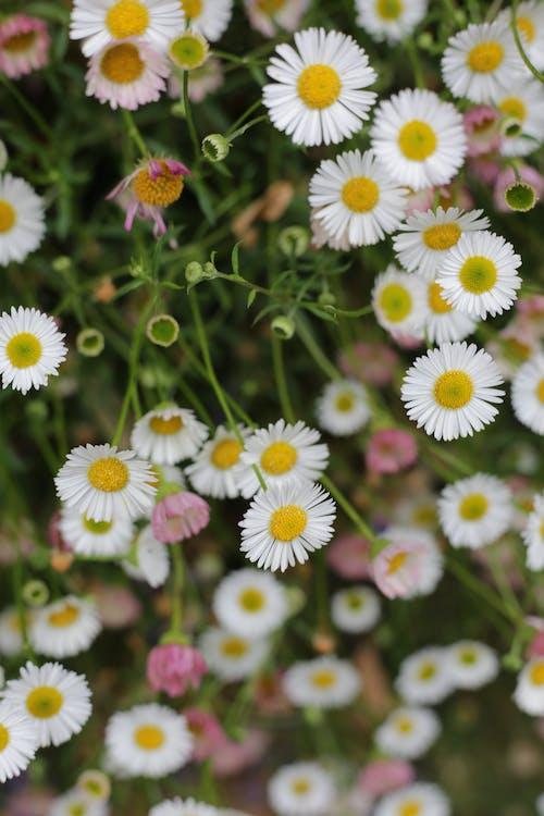 Ingyenes stockfotó elmosódott háttér, fehér virágok, finom témában