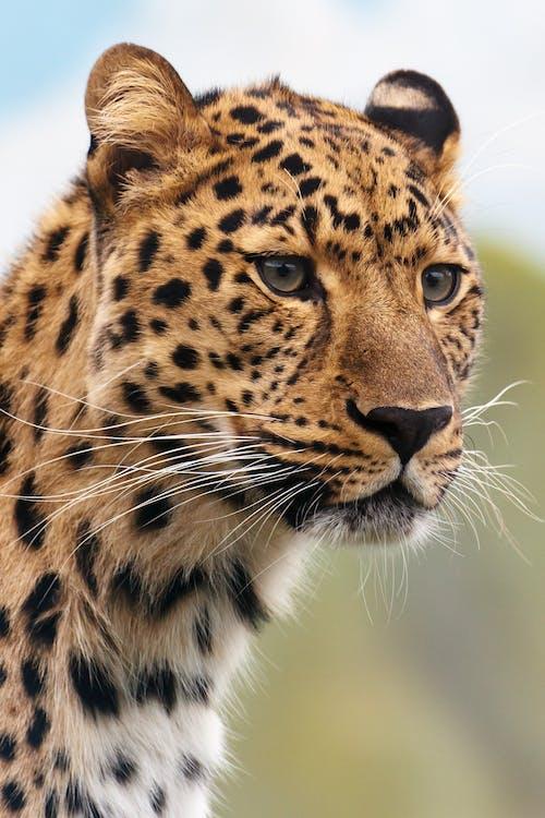 dyr, dyreliv, leopard
