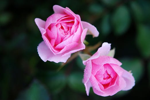 Pink petaled flowers free stock photo pink petal flower in close up photography mightylinksfo