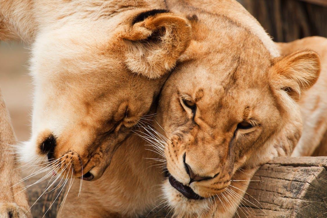Kostenloses Stock Foto zu große katze, löwe, löwen