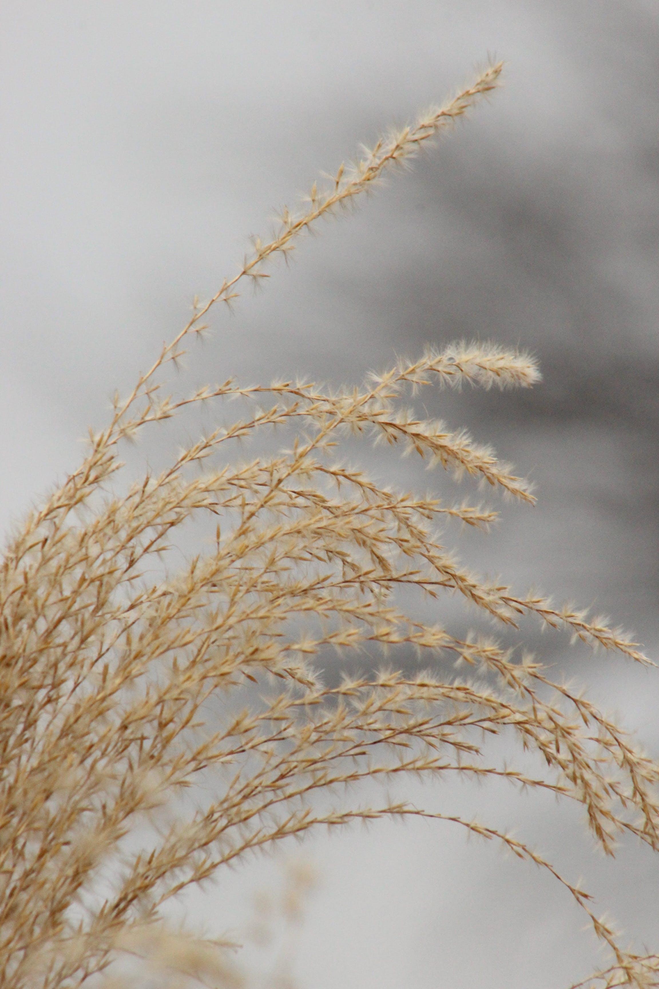 Gratis stockfoto met droog gras, grijs, plant voor de sier, sneeuw