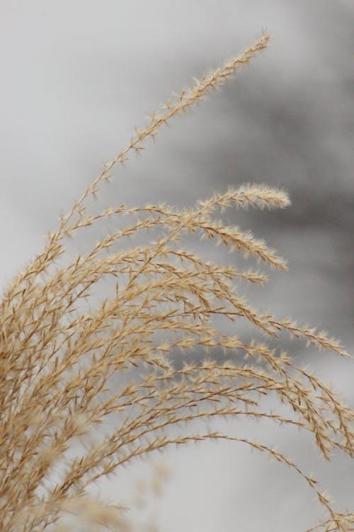 Free stock photo of dry grass, grey, ornamental plant, wheat