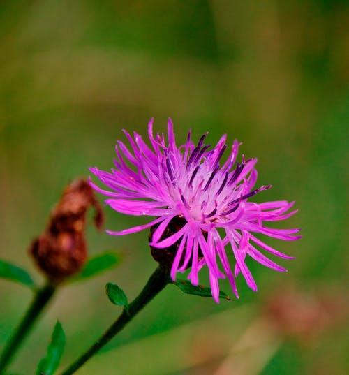 Selective Focus Photo of a Spotted Knapweed in Bloom