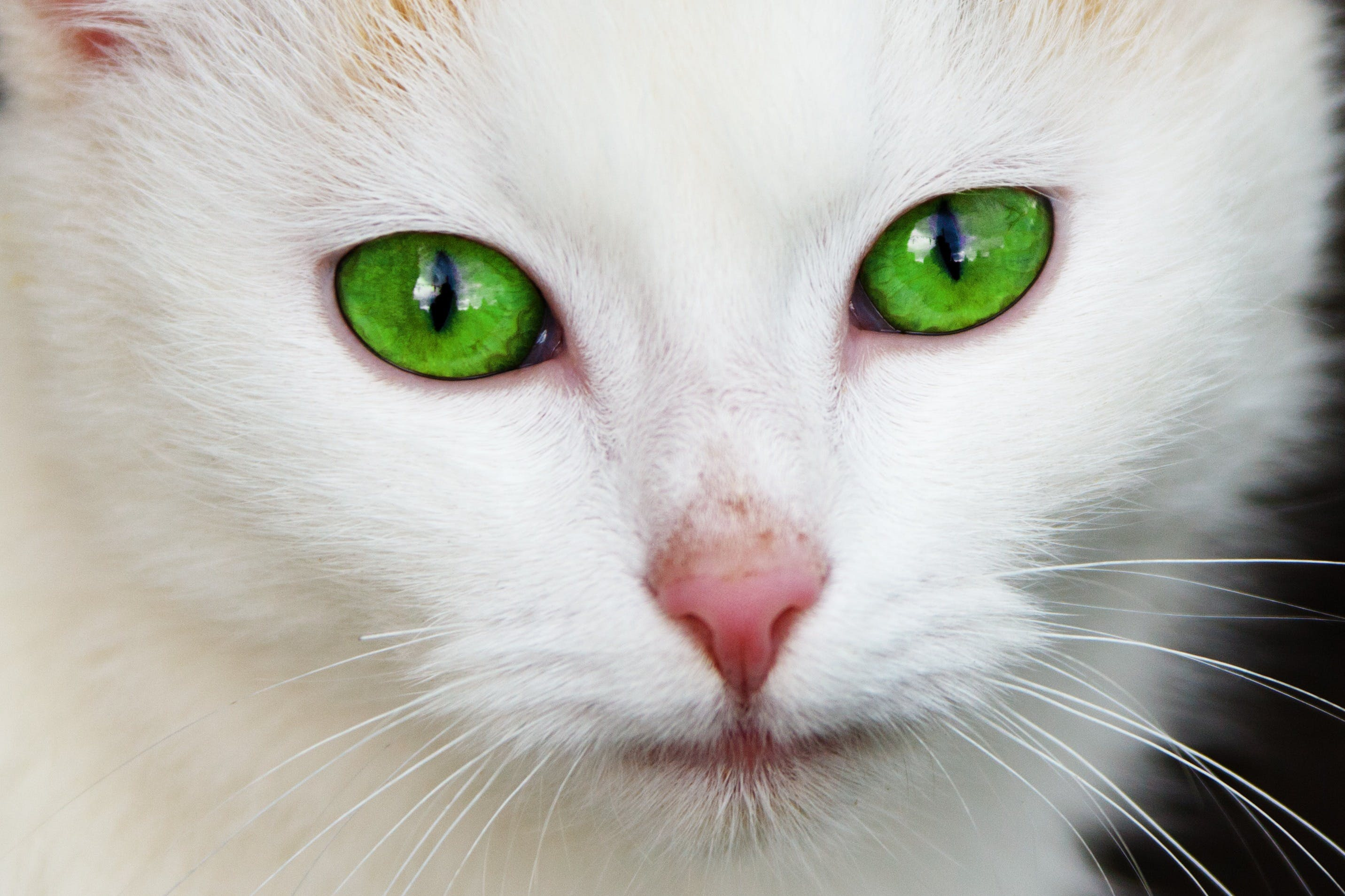 White Coated Cat With Green Eyes