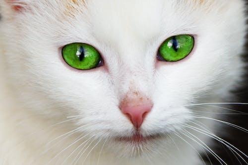 고양이, 고양잇과 동물, 귀여운, 눈의 무료 스톡 사진