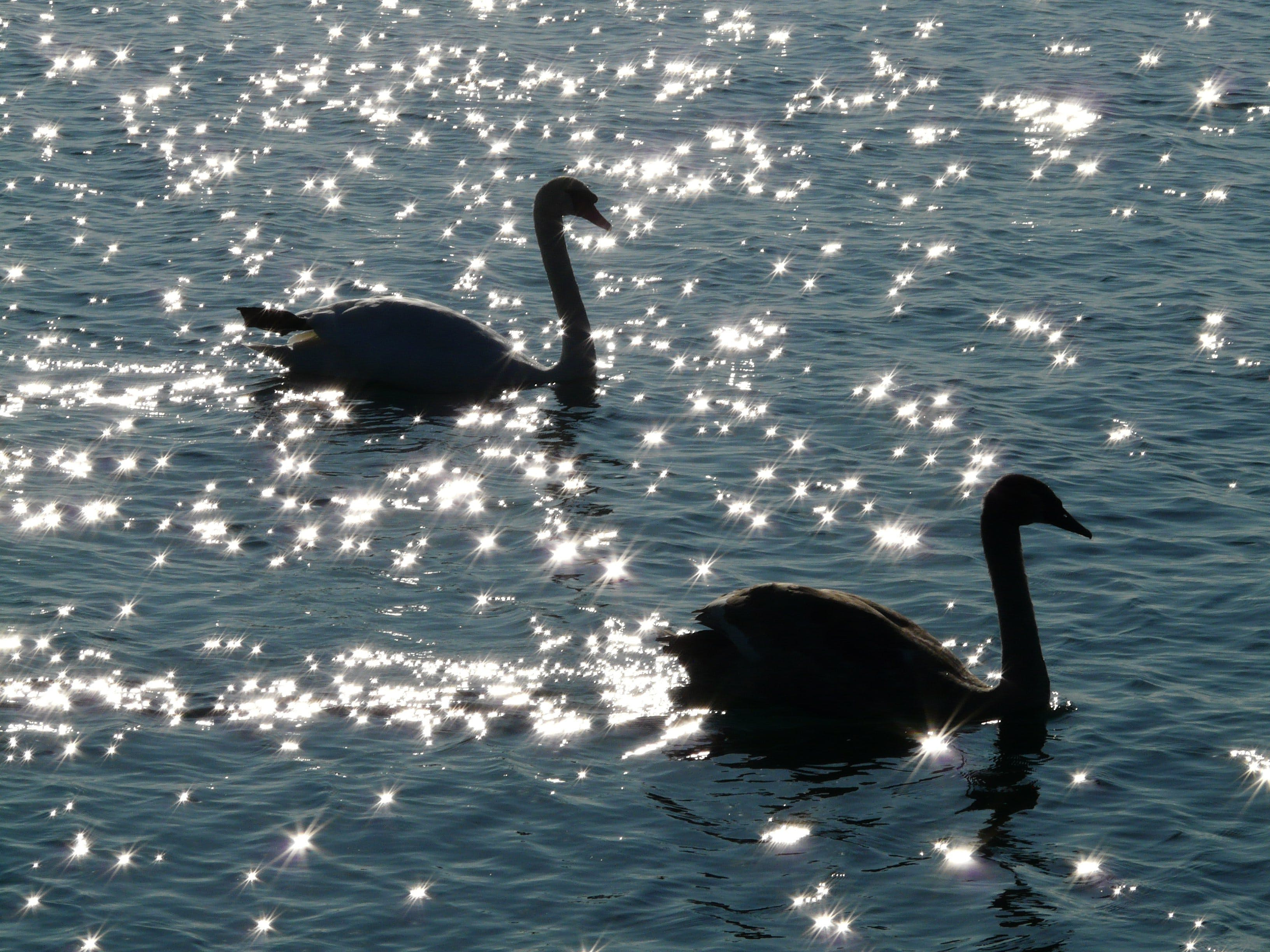 2 Swan on Body of Water