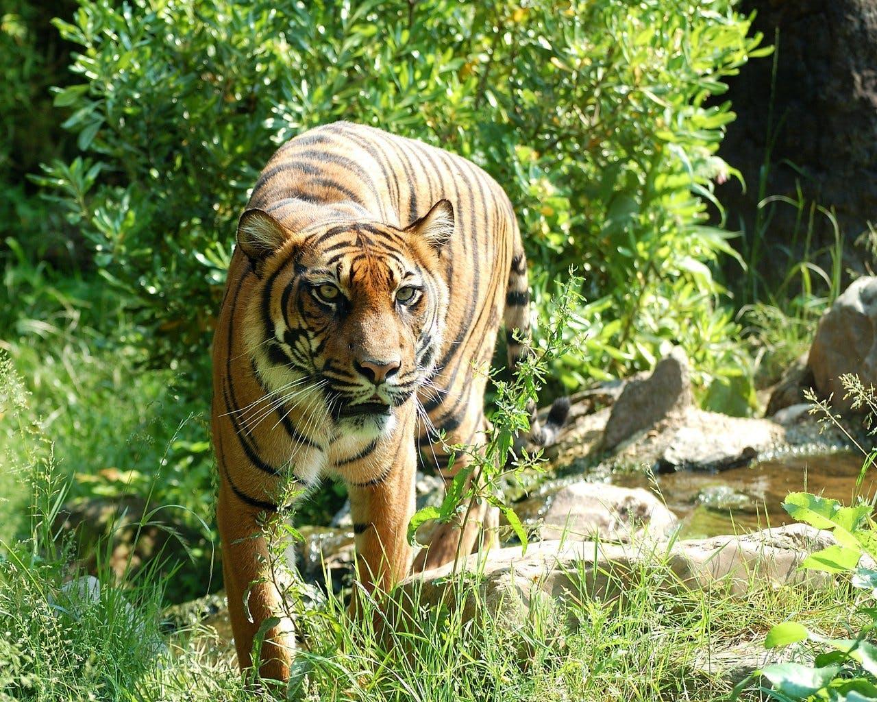 animal, big cat, sumatran tiger