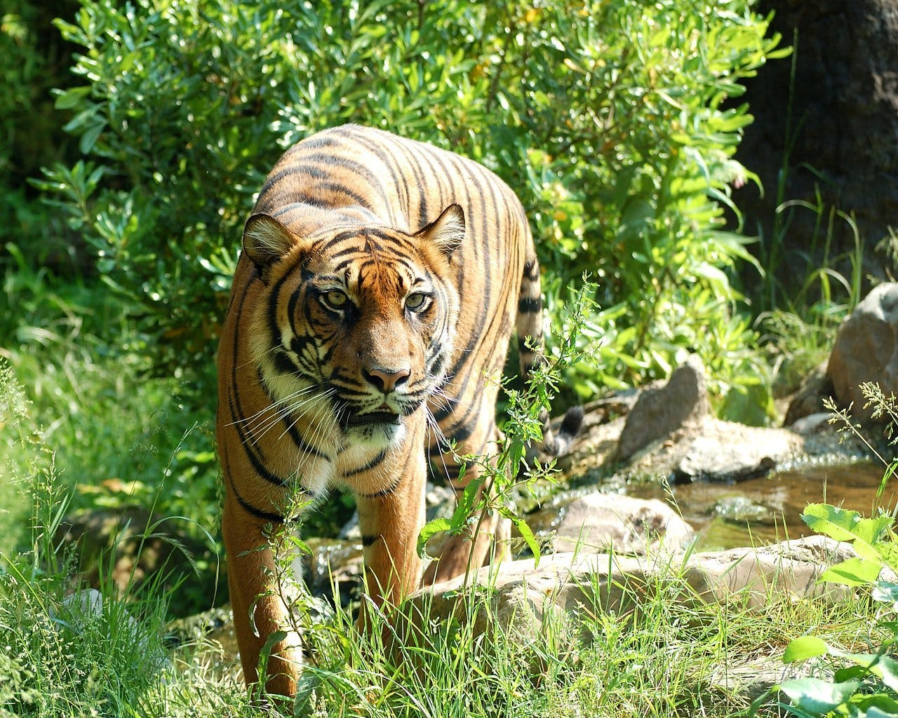 Tiger Surrounded by Green Grass