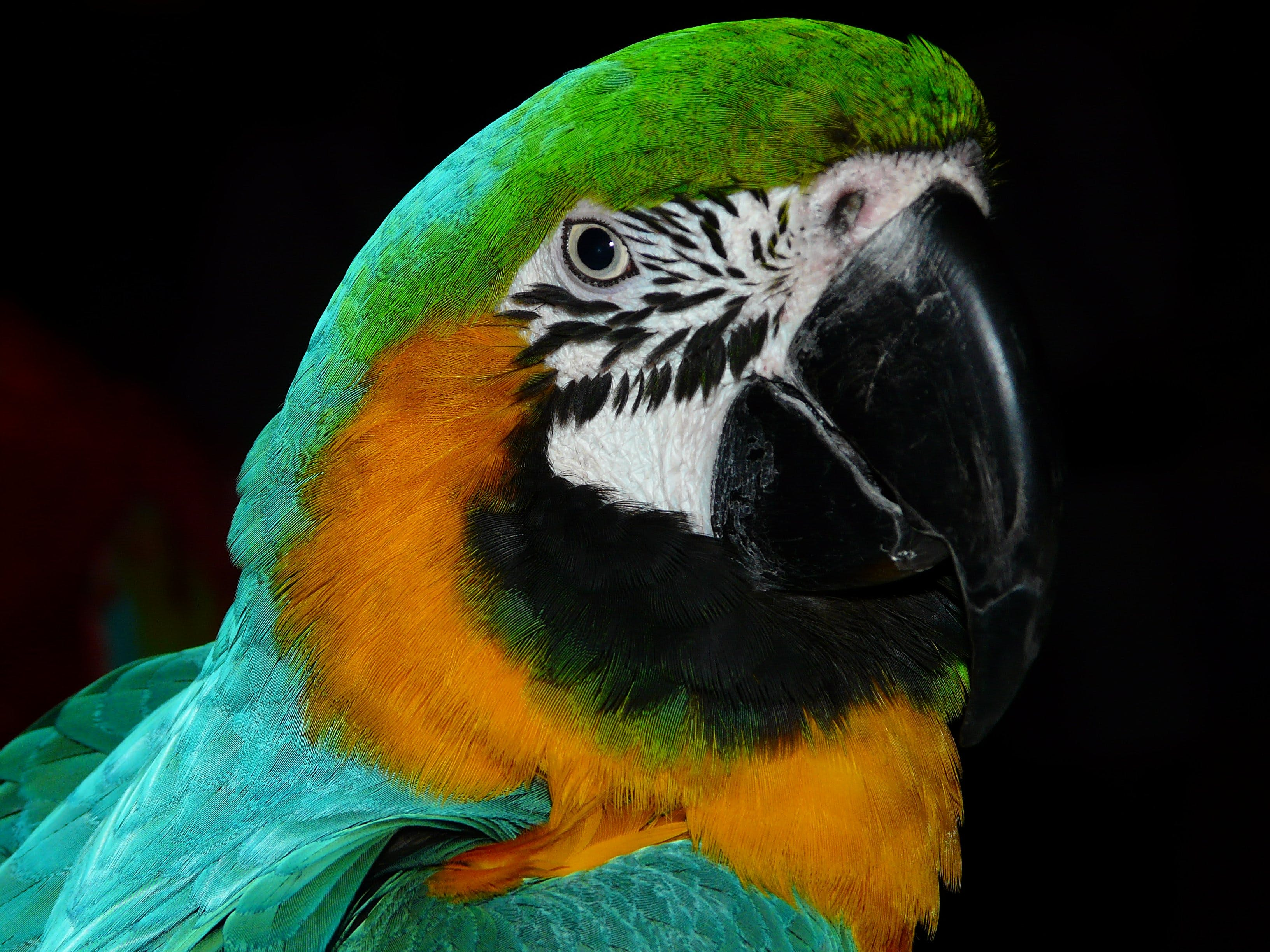 Green Black White Yellow and Teal Parrot