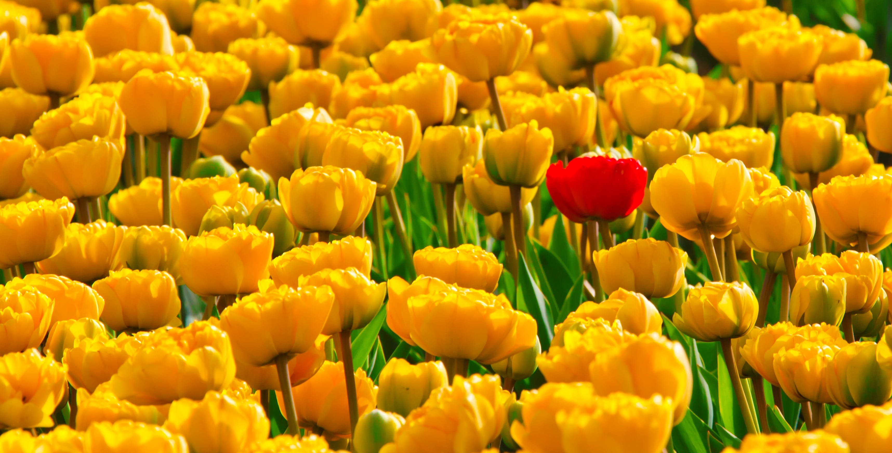 Yellow Petaled Flowers With One Red Petaled Flower Mixed in