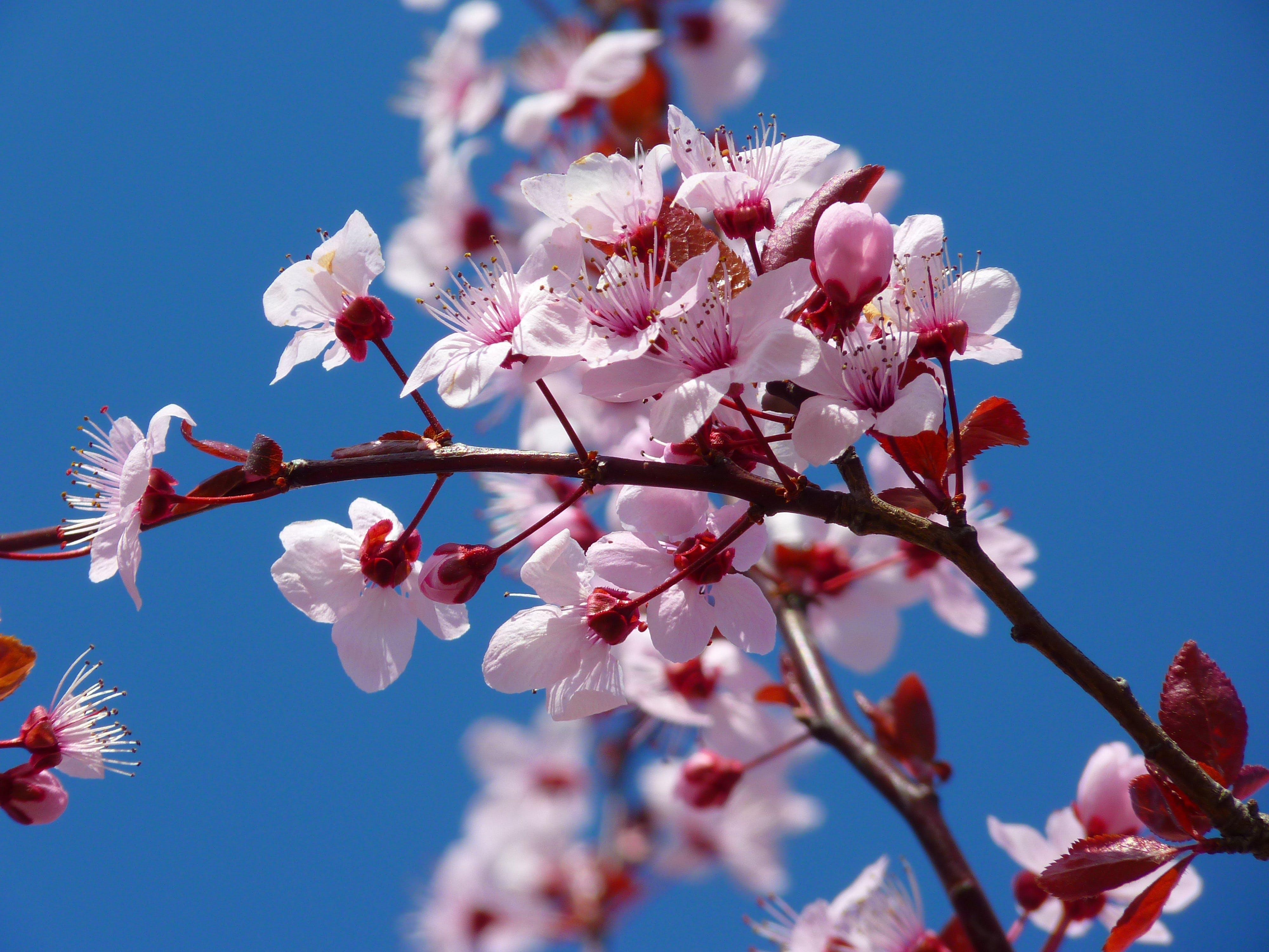 Fotobanka sbezplatnými fotkami na tému čerešňový kvet, detailný záber, flóra, kvet ovocného stromu