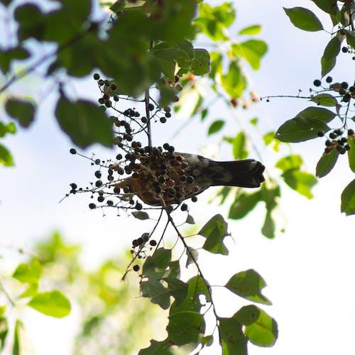 Kostenloses Stock Foto zu vogel, wild kirsche