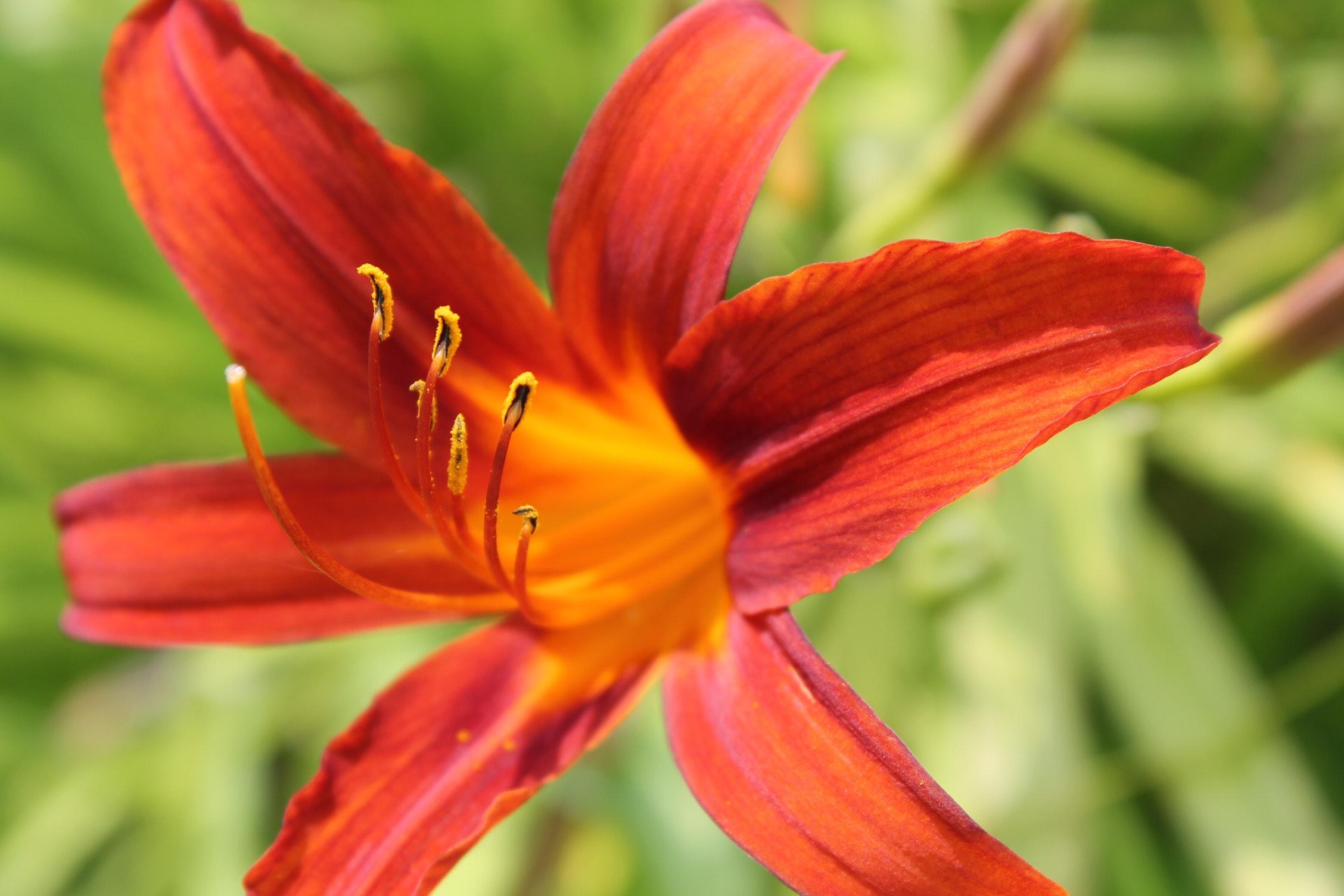 Free Stock Photo Of Flower Orange Flower Tiger Lily