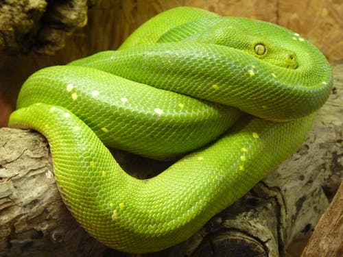 Photos gratuites de animal, serpent, vert