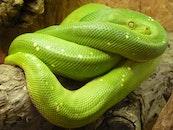 animal, green, reptile