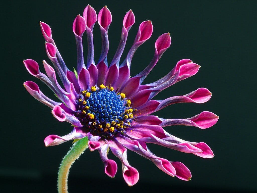 Purple and Pink Petaled Flower