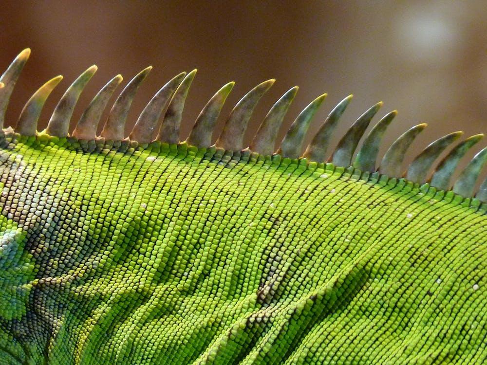 Základová fotografie zdarma na téma iguana hřeben, ještěrka, leguán