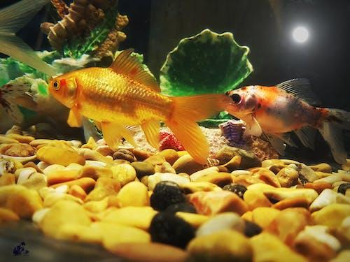 Free stock photo of ornamental fish