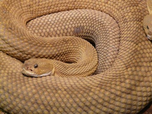 คลังภาพถ่ายฟรี ของ งูกะปะ, งูพิษ, น่าขนลุก, พิษ
