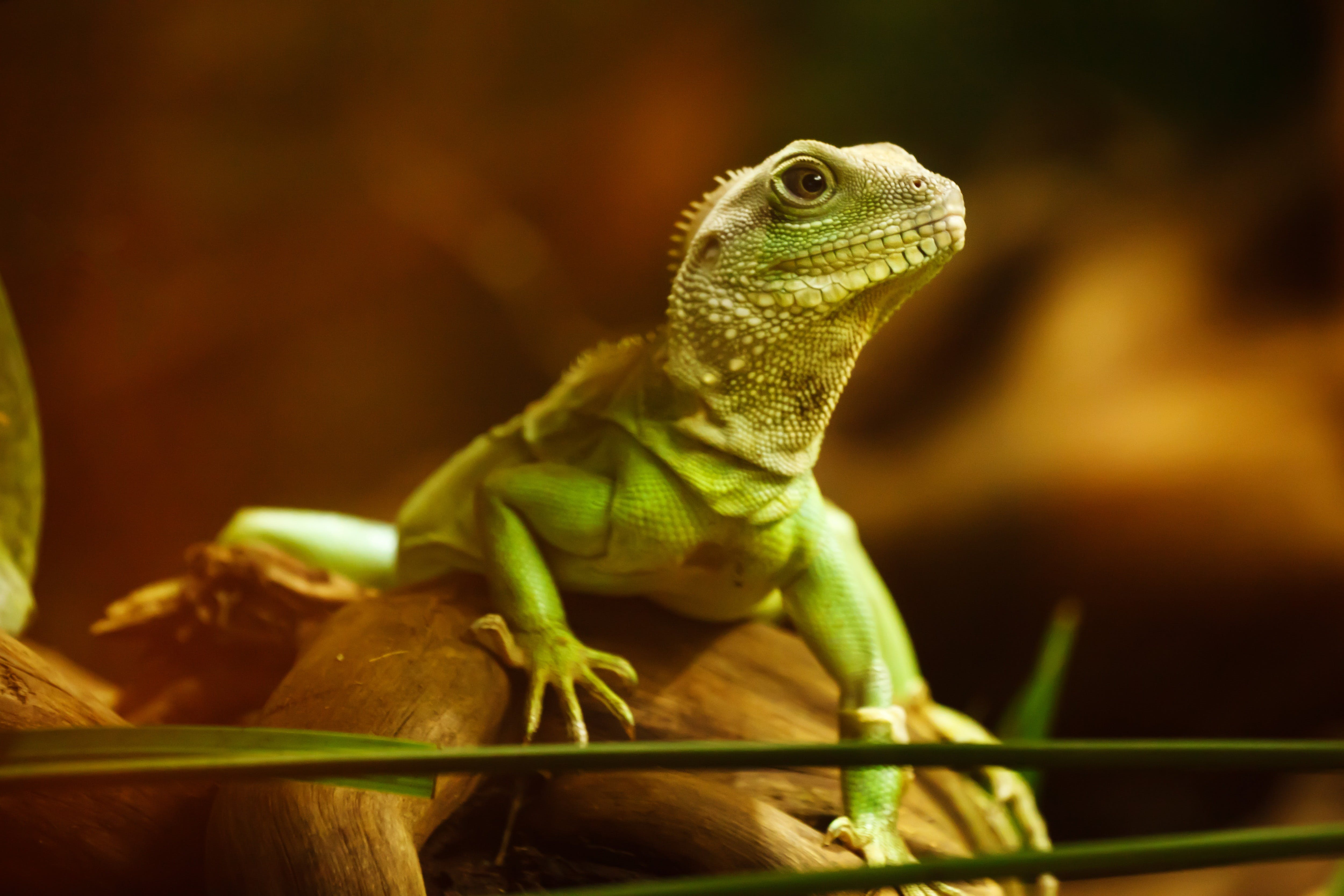 Green Iguana on Brown Wood