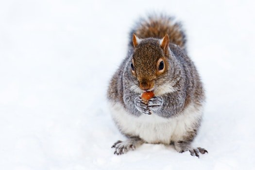 Gray and White Squirrel at Snow Covered Ground