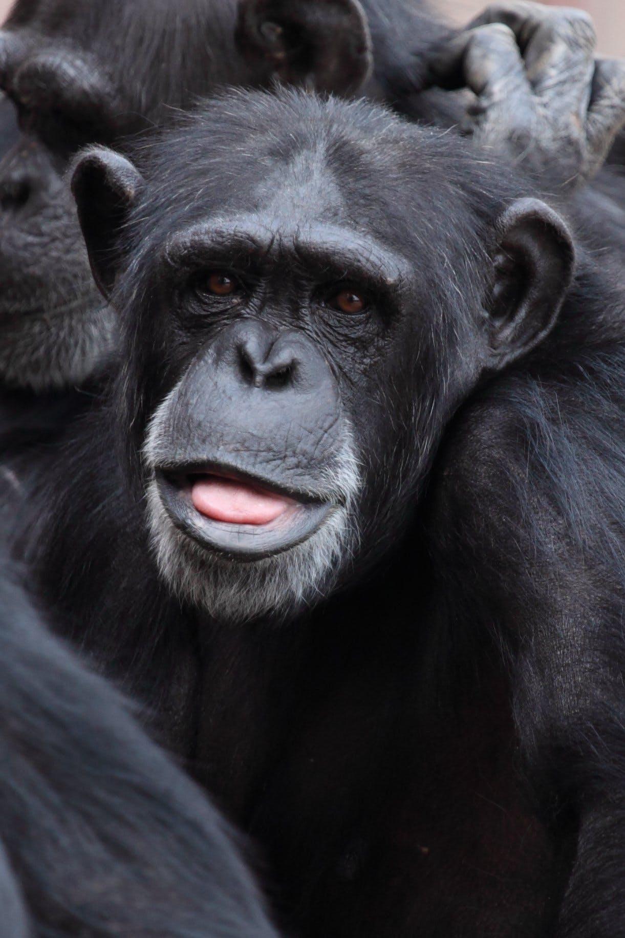 Kostenloses Stock Foto zu behaart, natur, primas, schimpanse