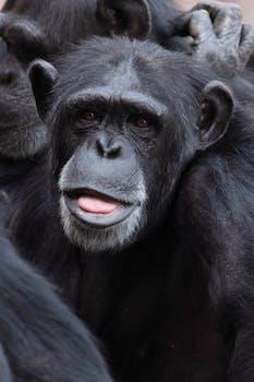 black ape free stock photo