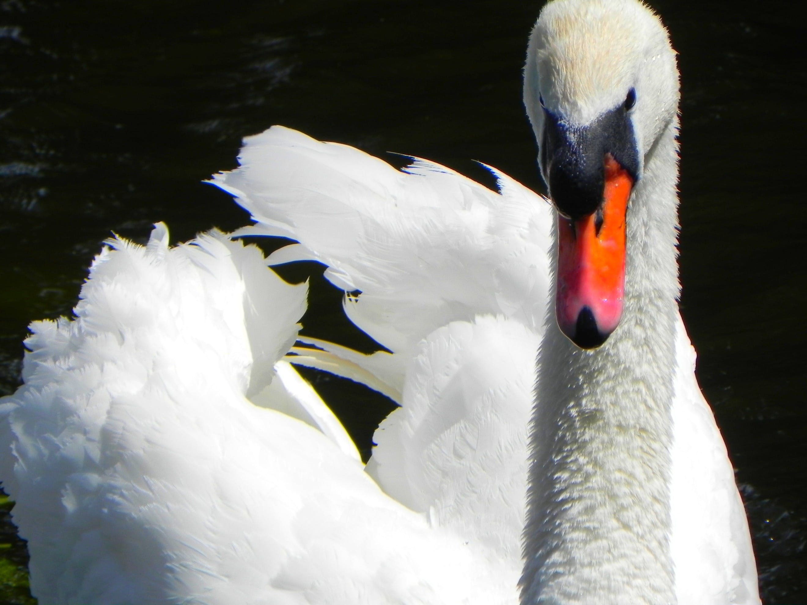 Free stock photo of bird, flying, lake, beak