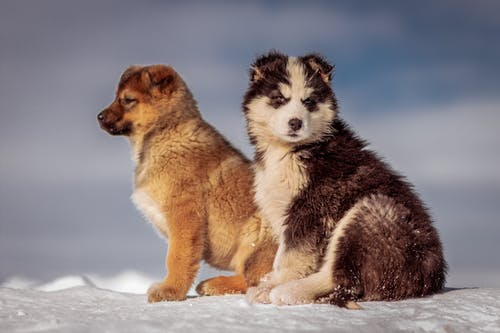 Black and White Siberian Husky Puppy on Snow Covered Ground