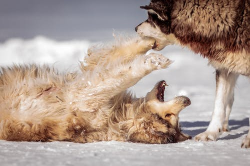 Two Dogs Playing on the Snow