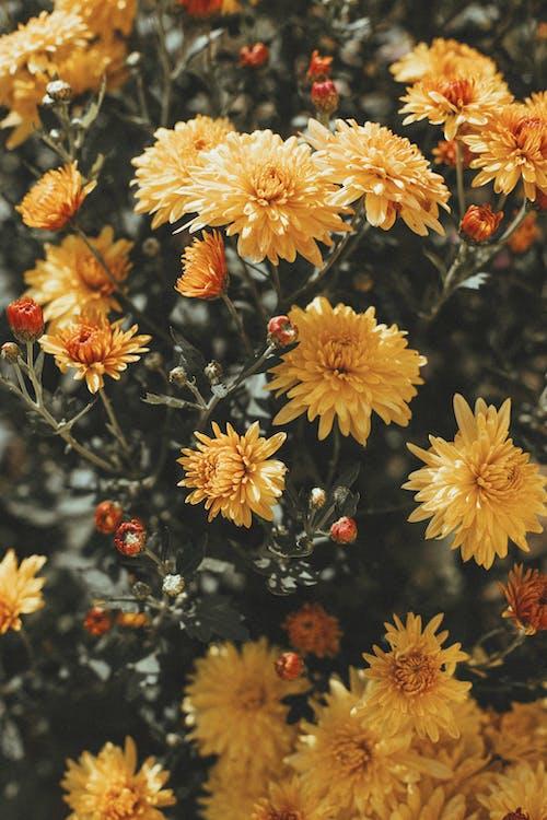 Close-Up Shot of Yellow Chrysanthemum in Bloom