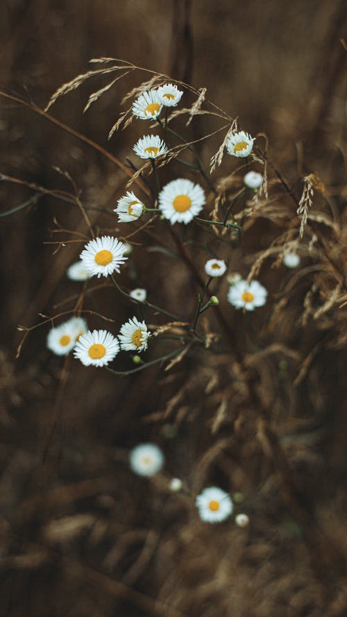 Close-Up Shot of Chamomile Flowers in Bloom