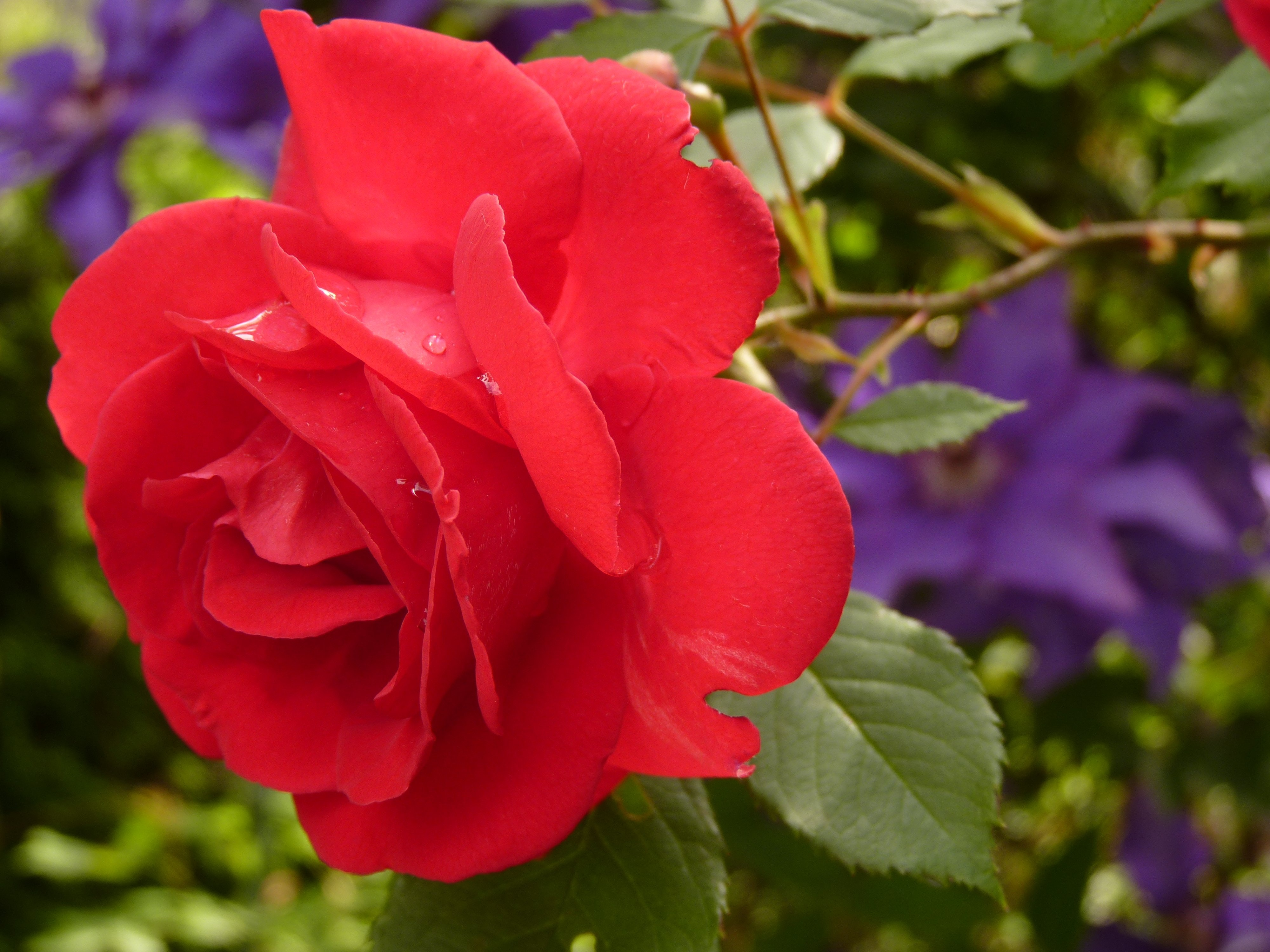 Close Up Photo Of Red Rose Free Stock Photo