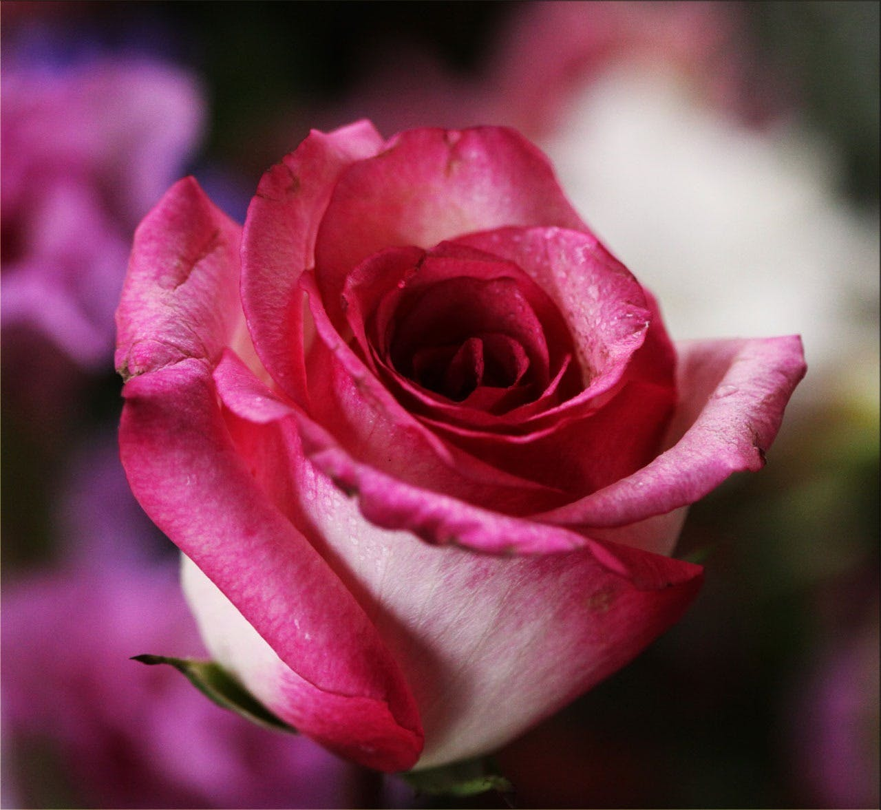 Macro Photography of Pink Rose Flower