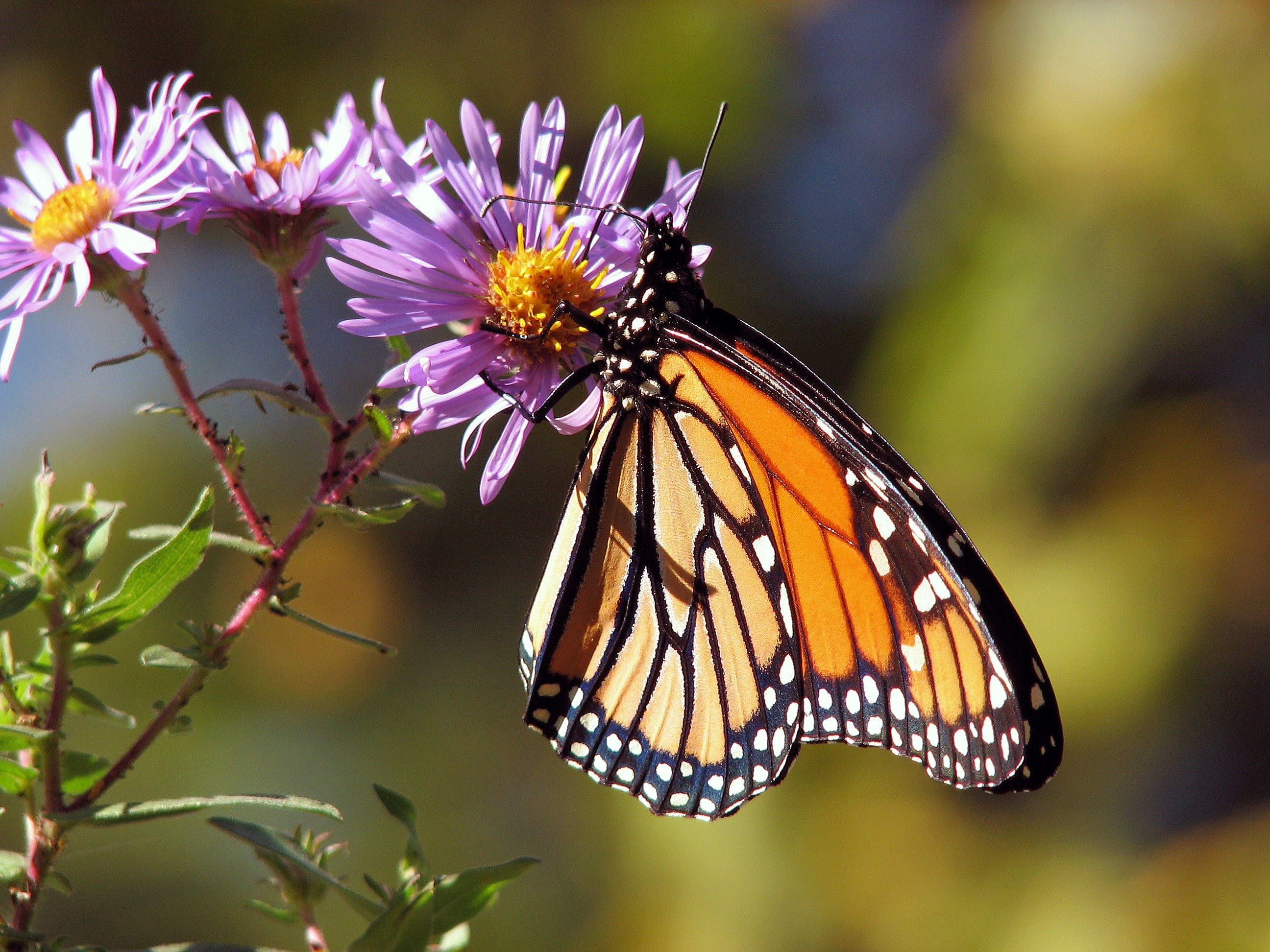 Orange and Black Polka Dot Butterfly Perch on Purple Flower during Daytime