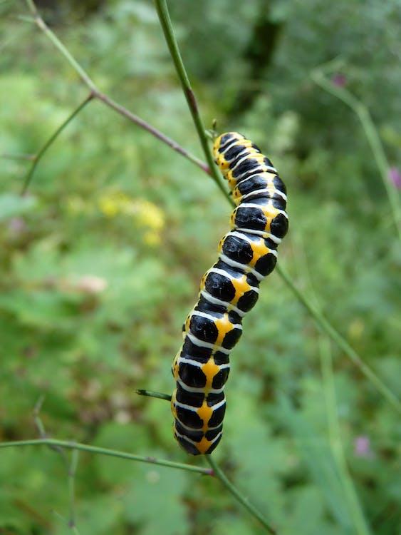 animal, fluture, insectă
